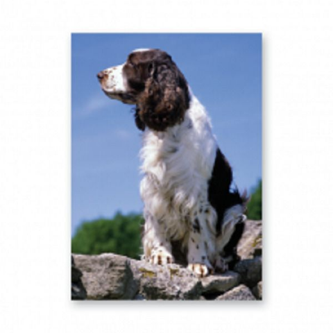 Springer Spaniel greetings card on a wall English Springer